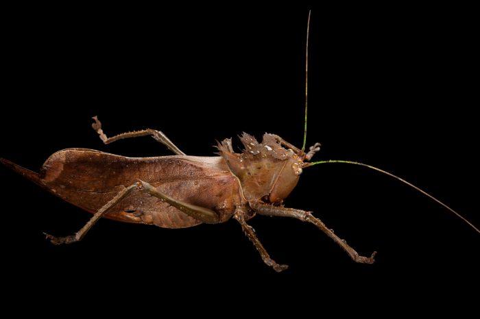 Photo: A dragon headed katydid (Eumegalodon blanchardi) at the Omaha Henry Doorly Zoo, Omaha, Nebraska.