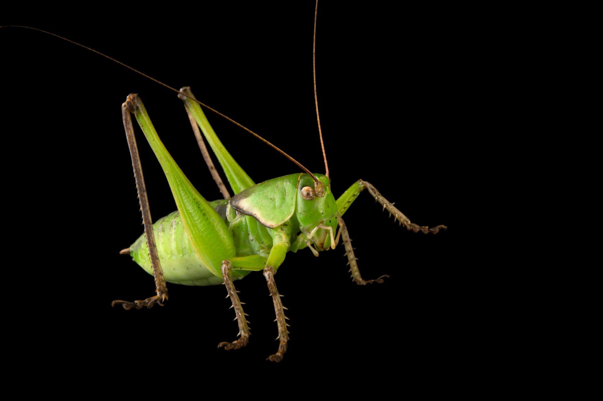 Picture of a Haldeman's shieldback katydid (Pediodectes haldemani) at the Dallas Zoo.