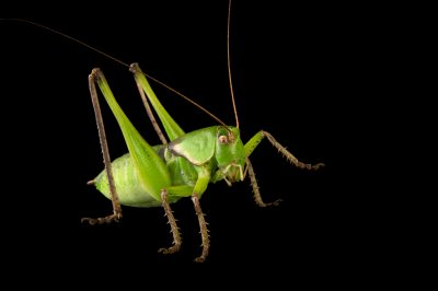 Picture of a Haldeman's shieldback katydid (Pediodectes haldemani) at the Dallas Zoo.
