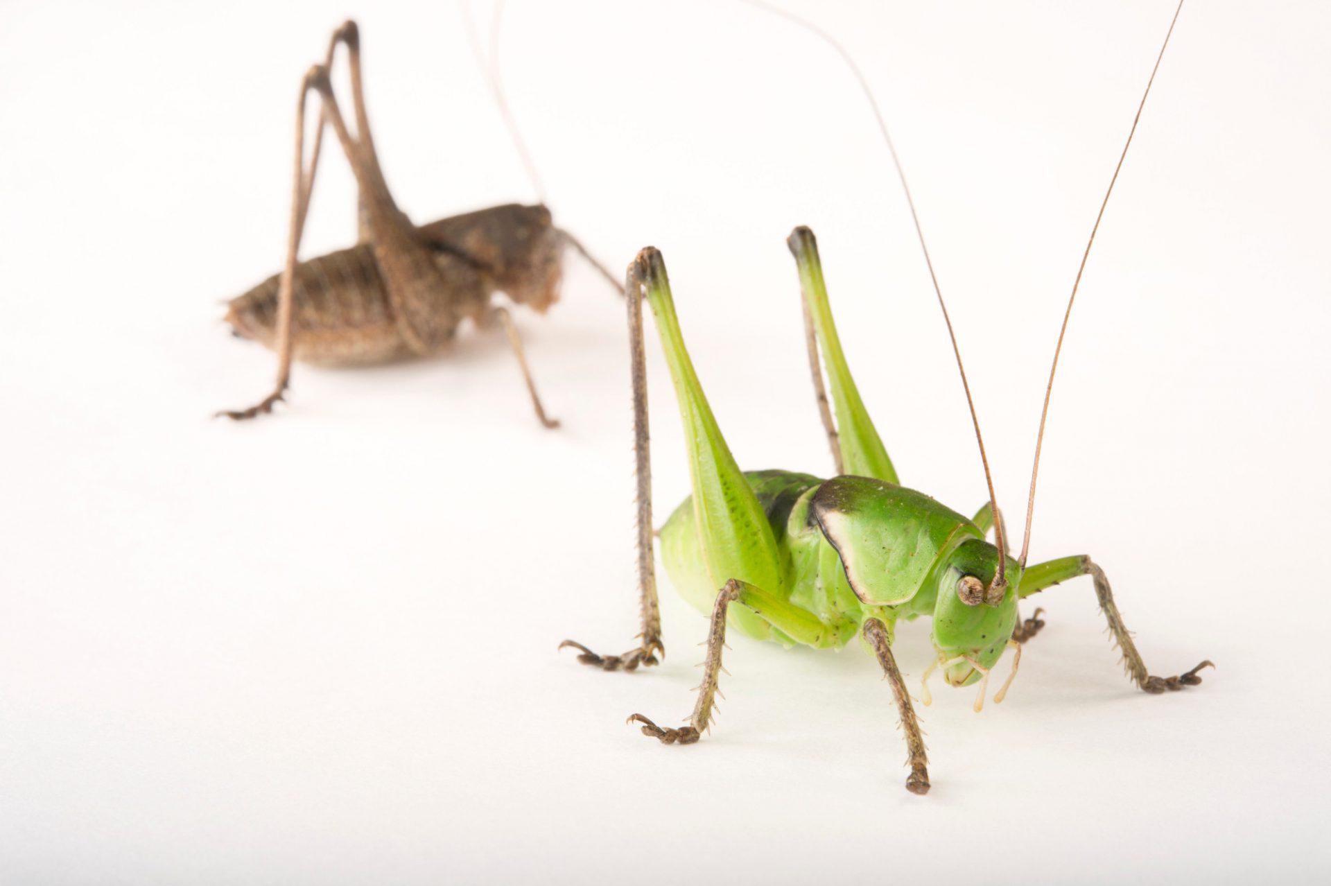 Picture of two Haldeman's shieldback katydids (Pediodectes haldemani) at the Dallas Zoo.