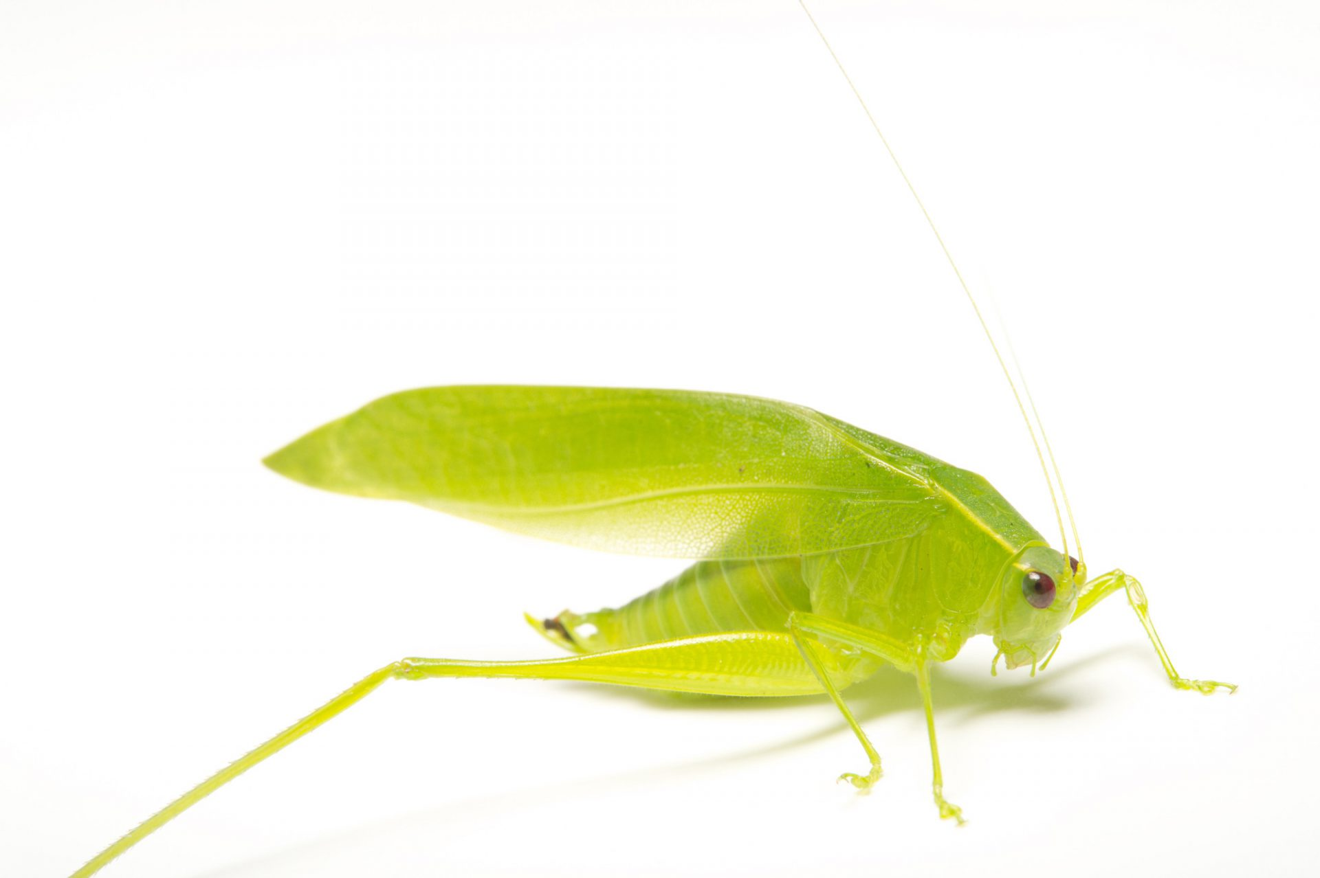 Picture of a male katydid (Chloroscirtus discocercus), which was caught in the wild in Gamboa, Panama.
