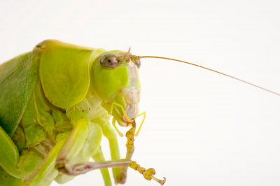 Picture of a katydid (Microcentrum) at the Central Florida Zoo.