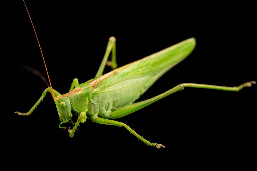 Photo: A great green bush cricket (Tettigonia viridissima) at the Plzen Zoo in the Czech Republic.