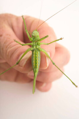 Photo: Great green bush cricket (Tettigonia viridissima) at the Plzen Zoo in the Czech Republic.