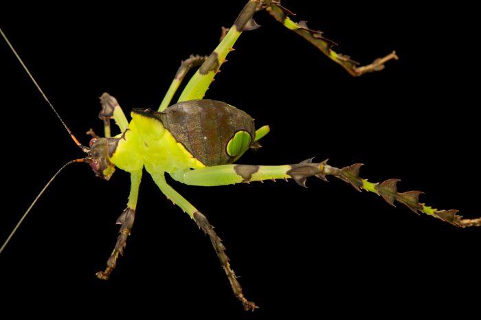 Photo: Malaysian katydid (Ancylecha fenestrata) at the Budapest Zoo.