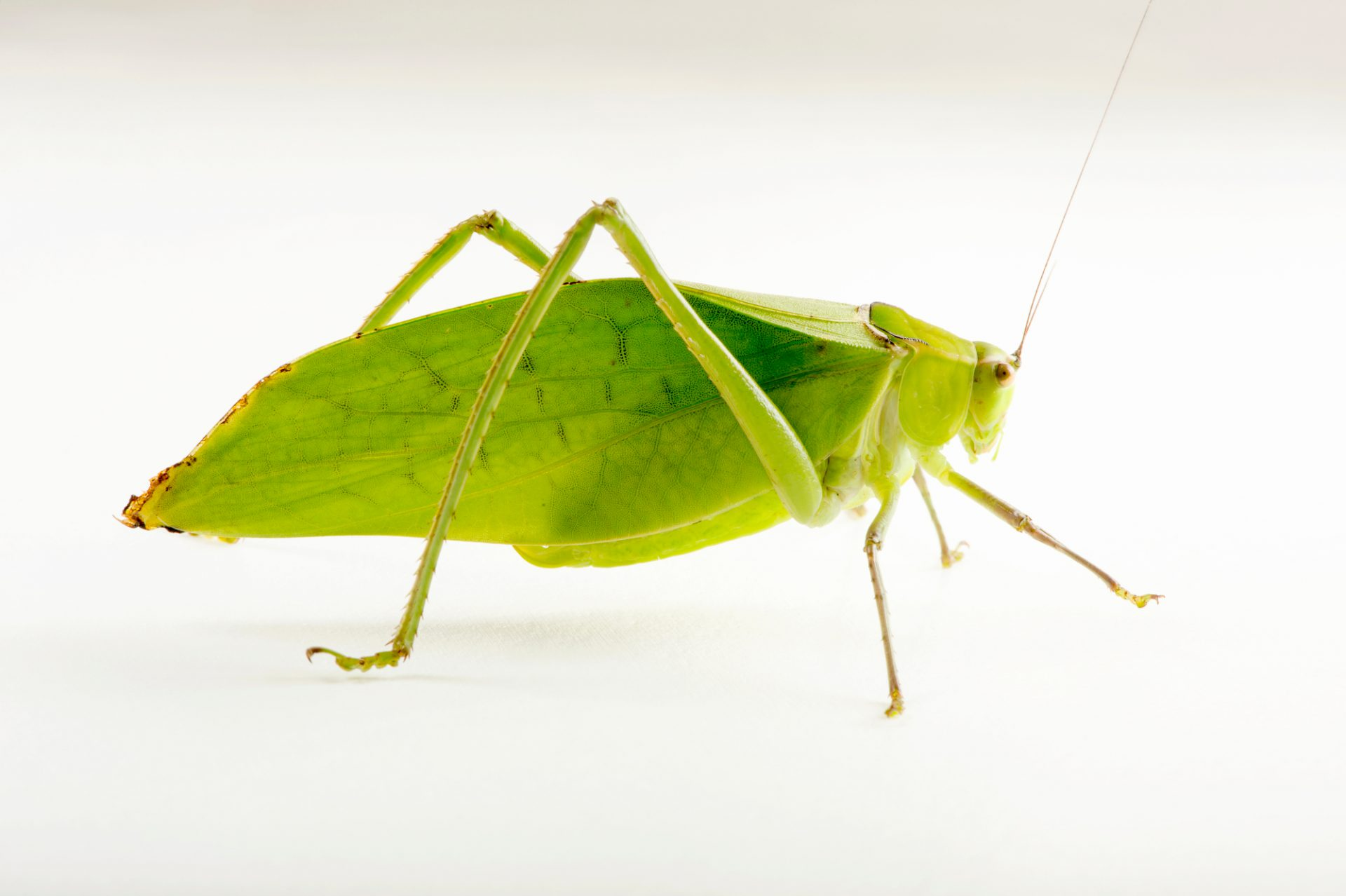 Photo: Giant katydid (Stilpnochlora couloniana) at the Budapest Zoo.