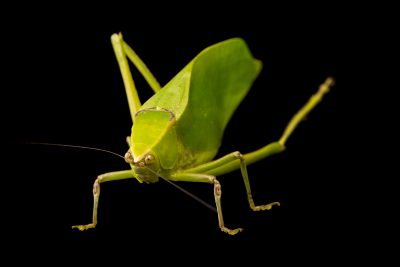 Photo: Florida bush katydid (Stilpnochlora couloniana) at the Exmoor Zoo.