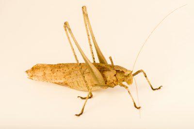 Photo: Southeast Asian katydid (Mecapoda elongata) at the Audubon Insectarium.