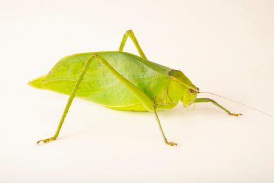 Photo: Giant katydid (Stilpnochlora couloniana) at the Moscow Zoo.