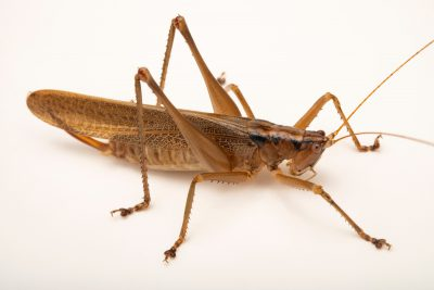 Photo: A wild caught unknown species of Katydid, collected in forest of Mt. Makiling, Luzon, Philippines.