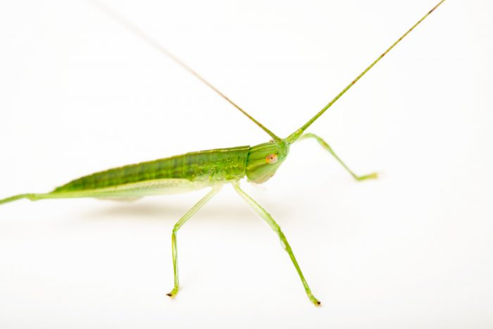 Photo: A wild caught unidentified Katydid from Mt. Makiling forest in Luzon, Philippines.