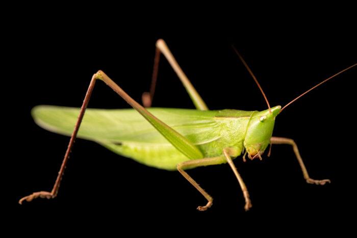 Photo: A robust cone-headed katydid (Neoconocephalus robustus) at St. Louis Zoo.