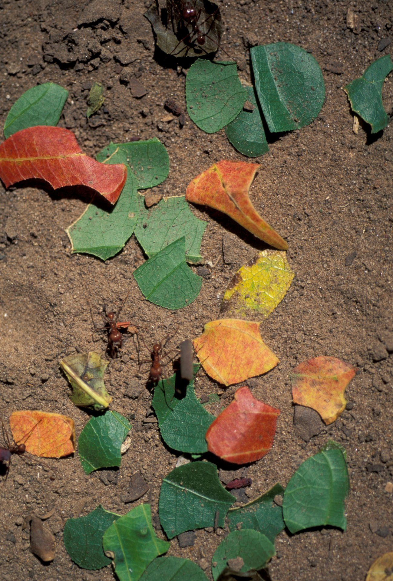 Photo: Leaf cutter ants in Bolivia's Madidi National Park.