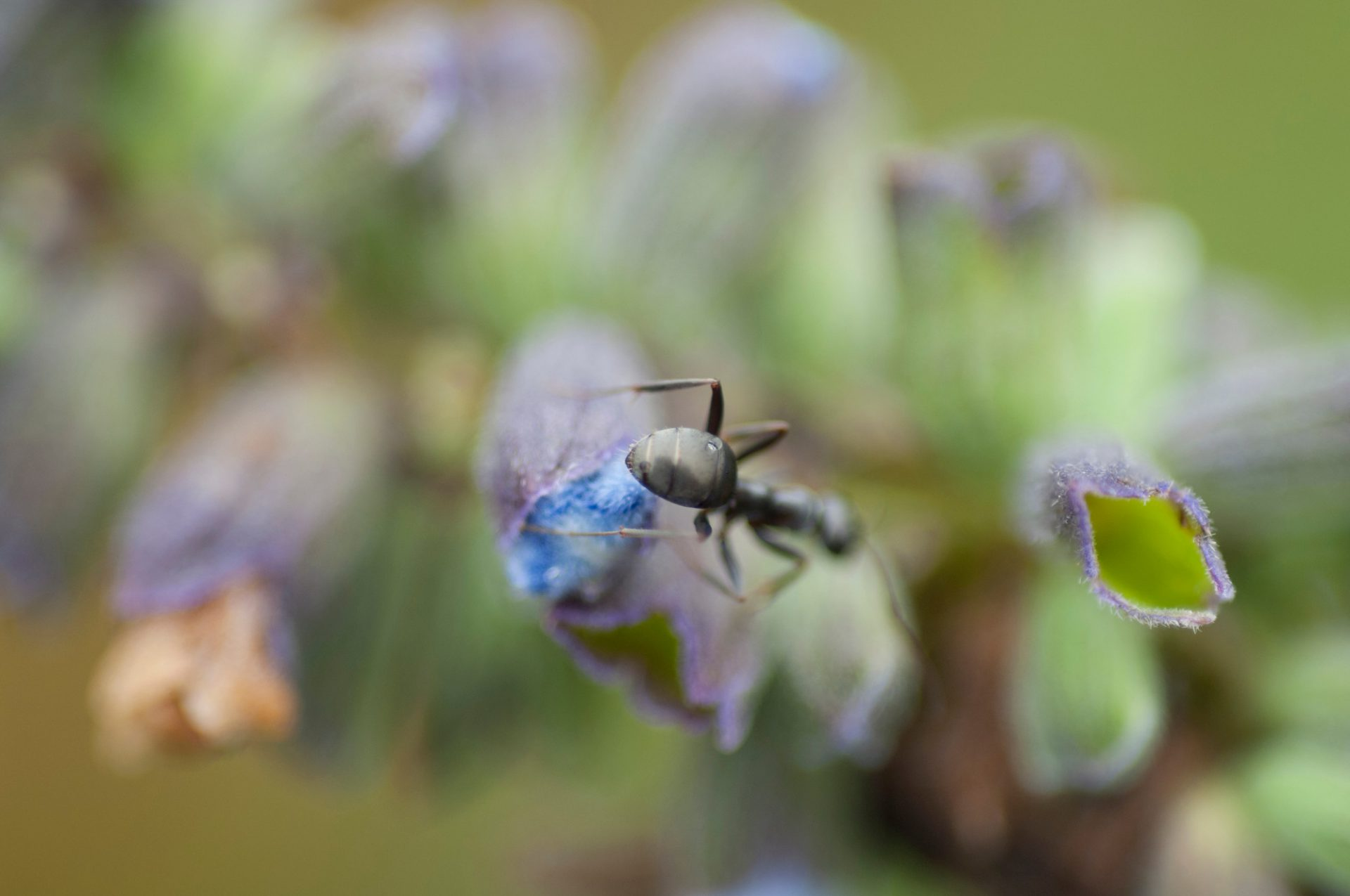 Photo: An ant crawls on blue sage/pitcher sage flowers (Salvia azurea) at Spring Creek Prairie.