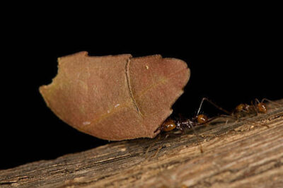 Leafcutter ants (Atta spp.) at the St. Louis Zoo.
