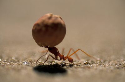 Photo: An ant carries more than its own weight in Brazil's Pantanal.