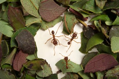 Picture of Texas leafcutter ants (Atta texana aculeata) at the Houston Zoo.