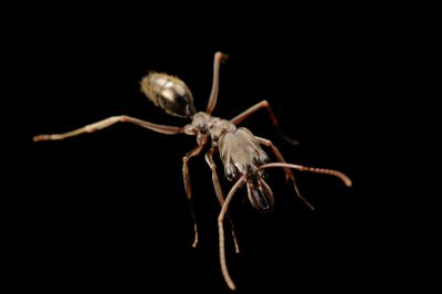 Photo: Trap jaw ant (Odontomachus sp.) at the Insectarium in New Orleans.
