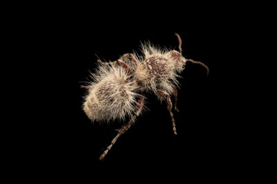 Picture of a thistledown velvet ant (Dasymutilla gloriosa) at Springs Preserve.