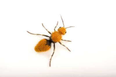 Picture of a velvet ant (Dasymutilla magnifica) at Springs Preserve.