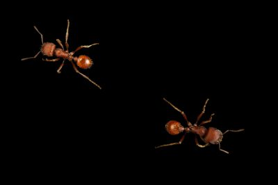 Picture of two rough harvester ants (Pogonomyrmex rugosus) at Springs Preserve.