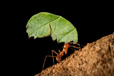 Leaf cutter ant (Atta cephalotes) at the Henry Doorly Zoo and Aquarium.
