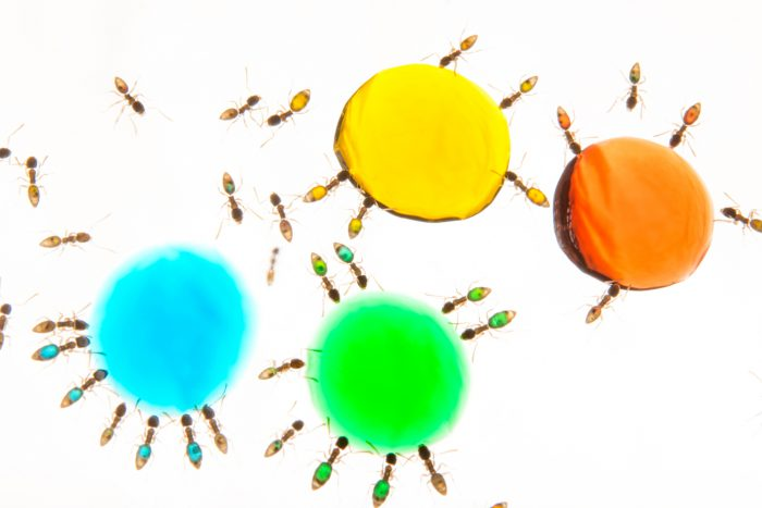 Photo: Ghost ants (Tapinoma melanocephalum) at the Urban Entomology Lab at the University of Florida.