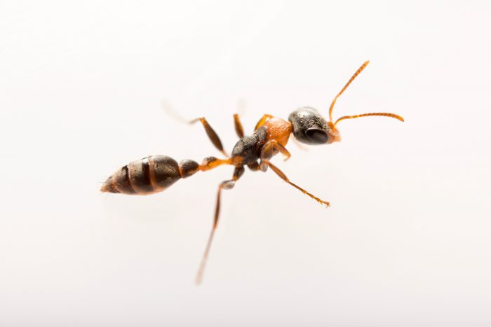 Photo: Twig ant (Pseudomyrmex gracilis) at the Urban Entomology Lab at the University of Florida in Gainesville.