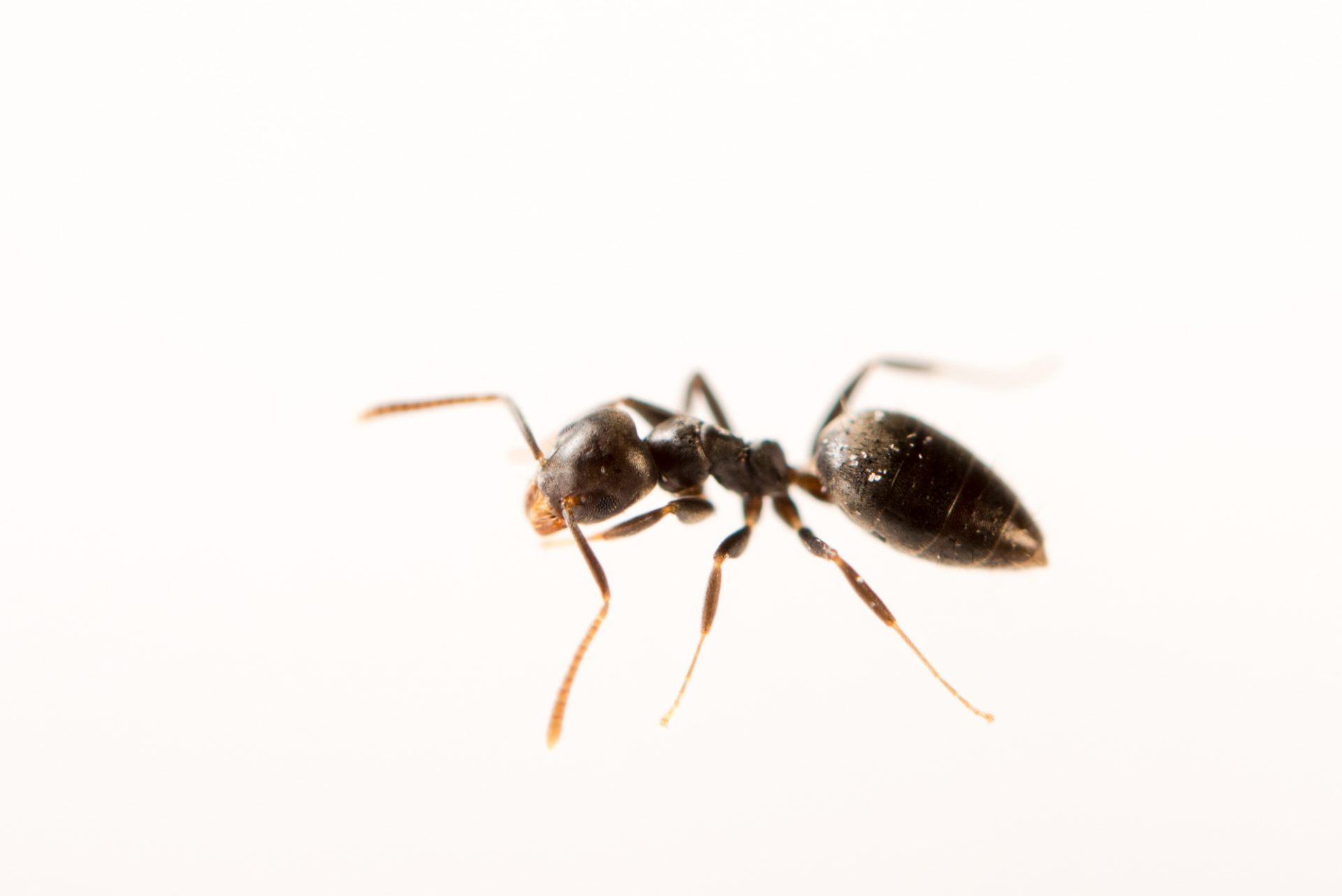 Photo: White-footed ant (Technomyrmex albipes) at the Urban Entomology Lab at the University of Florida in Gainesville.