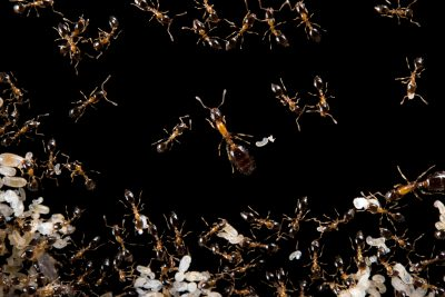 Photo: Bicolored trailing ants (Monomorium floricola) at the Urban Entomology Lab at the University of Florida at Gainesville.