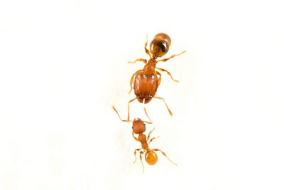 Photo: Big headed ant (Pheidole sp.) at the Urban Entomology Lab at the University of Florida at Gainesville.