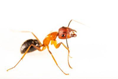 Photo: A Florida carpenter ant (Camponotus floridanus) at the Urban Entomology Lab at the University of Florida at Gainesville.