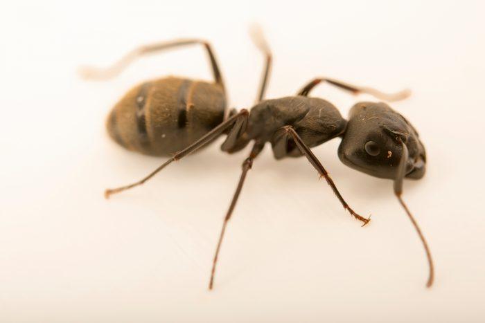 Photo: Carpenter ant (Camponotus pennsylvanicus) at the Audubon Insectarium.