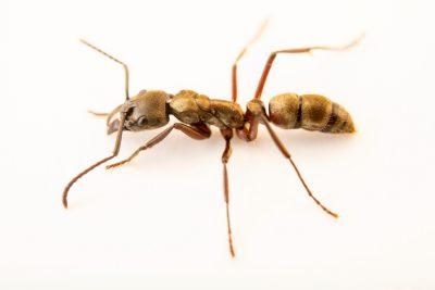 Photo: Texas bullet ant (Pachycondyla villosa) at the Cincinnati Zoo.