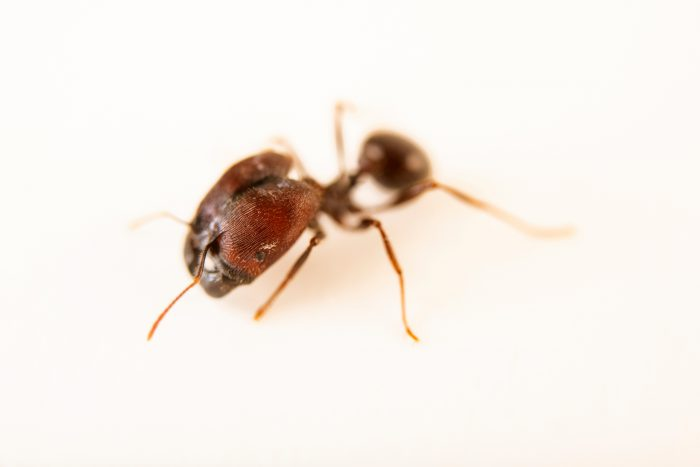 Photo: Big-headed ant (Pheidole rhea) at the Cincinnati Zoo.