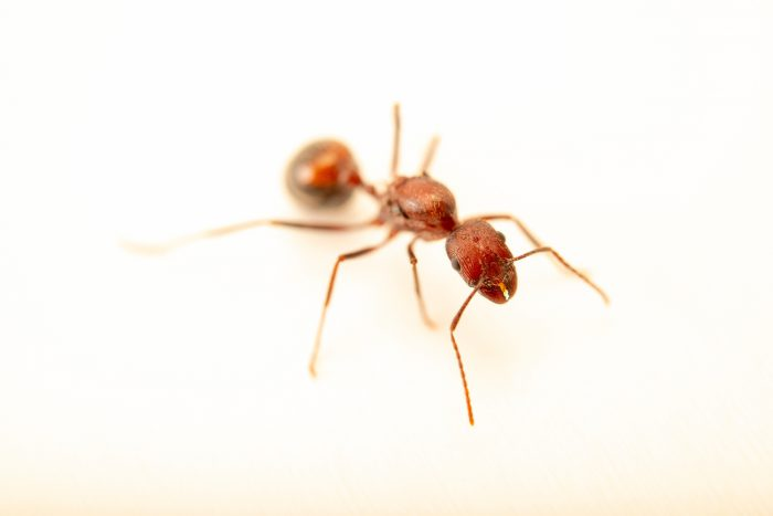 Photo: A queen long-legged desert ant (Aphaenogaster cockerelli) at Butterfly Pavilion in Westminster, Colorado.