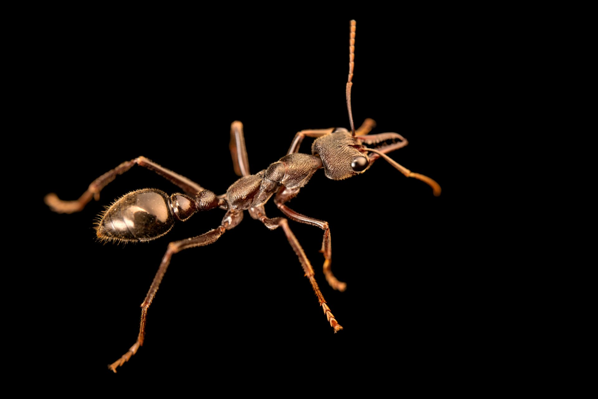 Photo: Bull ant (Myrmecia sp.) from the Melbourne Museum
