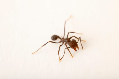 Photo: Leaf cutter ant (Acromyrmex ambiguous) at the Moscow Zoo.