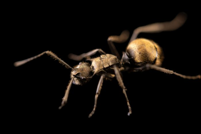 Photo: Golden ant (Polyrhachis illaudata) collected on grounds of Night Safari, part of Wildlife Reserve Singapore.