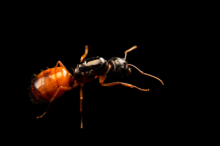 Photo: A female carpenter ant (Camponotus sansabeanus) at the Dallas Zoo. This animal was collected from South Padre Island.