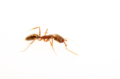 Photo: A trap-jaw ant (Odontomachus haematodus) at the Audubon Insectarium, part of the Audubon Nature Institute.