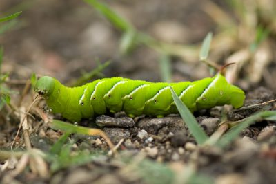 Photo: A tomato horned worm's (Manduca quinquemaculata) bright green color makes it stand out against the ground.