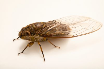 Photo: An unidentified cicada at the Angkor Centre for Conservation of Biodiversity (ACCB) in Siem Reap, Cambodia.