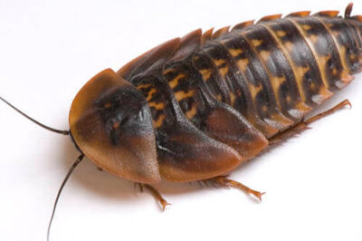 Photo: South American cockroaches (Bladerus giganteus) at the Bramble Park Zoo.