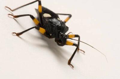 An twin-spotted assassin bug (Platymeris biguttatus) from Rolling Hill Wildlife Adventure.