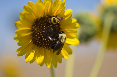 Photo: Sunflowers and pollinating bees near the Charles M. Russell National Wildlife Refuge, MT.