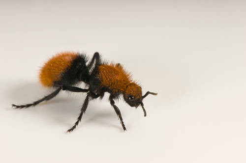 A velvet ant (Dasymutilla sp.) at the Lowry Park Zoo in Tampa, FL. This is actually a type of wasp that has a really painful sting.