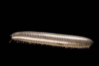 A Florida scrub millipede (Floridobolus penneri) at the Archbold Biological Station on the Lake Wales Ridge of Florida.