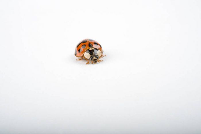 An Asian lady beetle (Harmonia axyridis). Also known as harlequin ladybird, multicolored Asian lady beetle and halloween lady beetle.