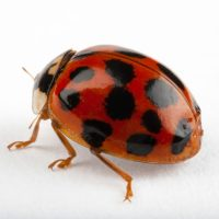 Photo: An Asian lady beetle (Harmonia axyridis). Also known as harlequin ladybird, multicolored Asian lady beetle and halloween lady beetle.